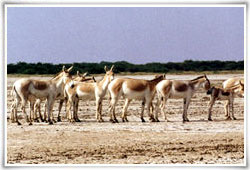 Rann of Kutch Wildlife Sanctuary Ahmedabad